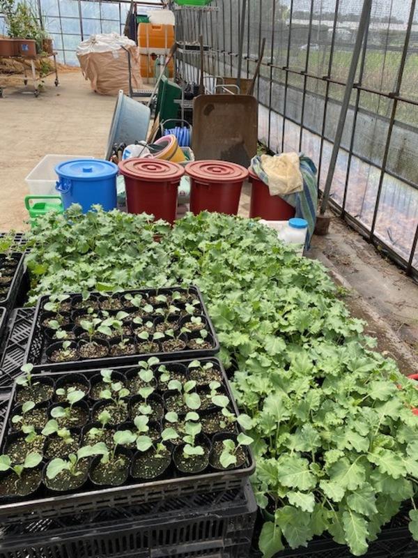 非結球芽キャベツ プチヴェールの栽培