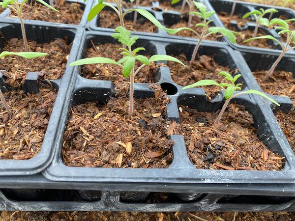 2021年のトマト栽培